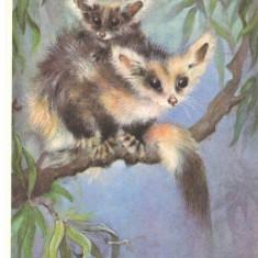 Carte postala tematica - Carte postala ilustrata FAUNA - Animale salbatice - rozatoare -
