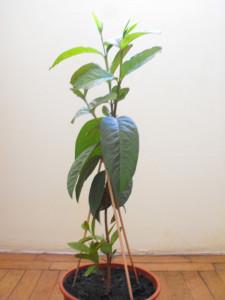 Guava (Psidium Guajava) foto