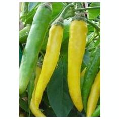 Seminte ardei iute chili