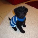 Caine, Caniche - Vand caniche toy negru, 6 luni, complet vaccinat, foarte jucaus si mancacios.