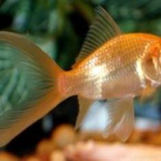 Pesti de acvariu - Carasi aurii - Specii pesti, Anabantidae