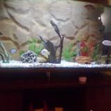Vand ciclide africane turda - Specii pesti, Cichlidae