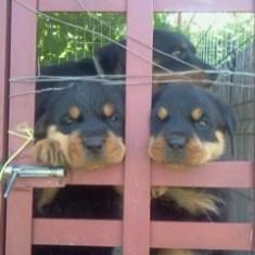 Caine, Rottweiler - Vand urgent pui rottwailer