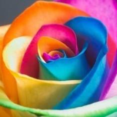 Trandafiri, Multicolori - Seminte trandafir super colorat (curcubeu)