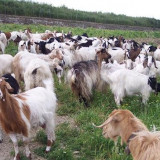 Oi/capre - Vand 50 de capre lapte