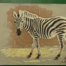 Vedere zebra - motiv animale salbatice - necirculata