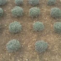 Butasi si Floare Lavanda