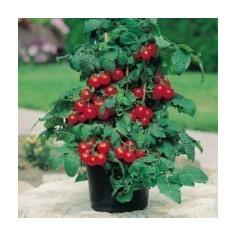 Seminte rosii de ghiveci