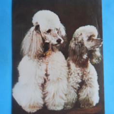 Carti Postale Romania dupa 1918, Necirculata - HOPCT14811 CANICHE / LOT CAINI / [NECIRCULATA ]