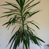 Yucca de interior, inaltime 2,3m