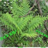 Plante ornamentale - Feriga
