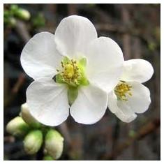 Pomi Gutui - Chaenomeles speciosa 'Nivalis' - Gutui japonez alb