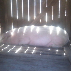 Rase porci - Porc 200 kg