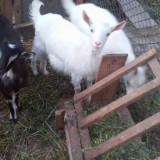 Oi/capre - Vând iediță din capră de lapte, de Paște
