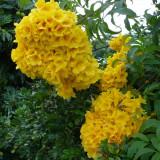 Plante ornamentale - Seminte rare Tecoma Stans - 5 seminte pentru semanat