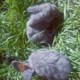 Vand iepuri belgieni