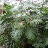 Seminte rare de Philodendron bipinnatifidum - 3 seminte pt semanat