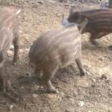 Porci mistreti - Rase porci