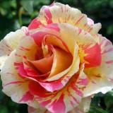 Butasi de trandafiri in 2 culori