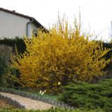 Forsithia intermedia Lynwood – Forsitia, ploaie de aur