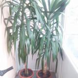 Plante ornamentale - Yucca de interior 2, 5m