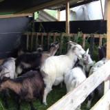 Vand capre cu lapte si iede - Oi/capre