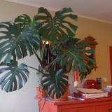 Planta naturala Monstera / Filodendron, tanara, sanatoasa