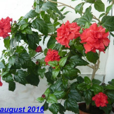 Trandafir japonez de 1, 20 metri inflorit si cu multi boboci