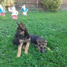 Câine- CIOBĂNESC German, Gen: Femela