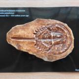 Fosila crustaceu preistoric ~ 450 milioane de ani - Replica de muzeu - Fosila roca